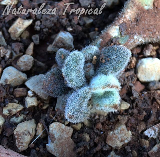Esqueje de hoja de la planta Colmillo o Estalactita, Kalanchoe beharensis 'Fang'