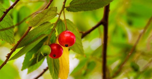 Kandungan Khasiat dan Manfaat Buah Ceri Hutan