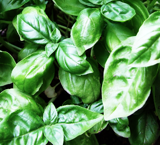 https://fr.wikipedia.org/wiki/Basilic_(plante)