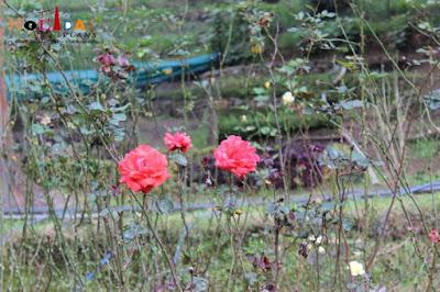 Roses at Bryant park