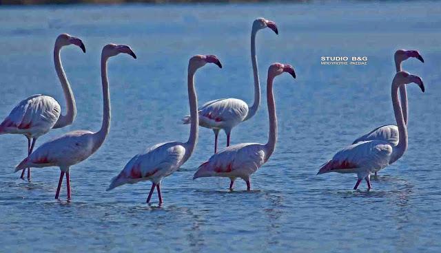 22 πανέμορφα φλαμίνγκο επισκέφθηκαν το Ναύπλιο