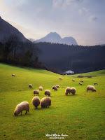 ovejas en atxondo