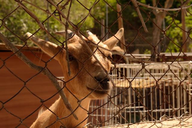 Goat in Ibiza