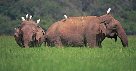 Behavioral Characteristics of Sri Lankan Elephants