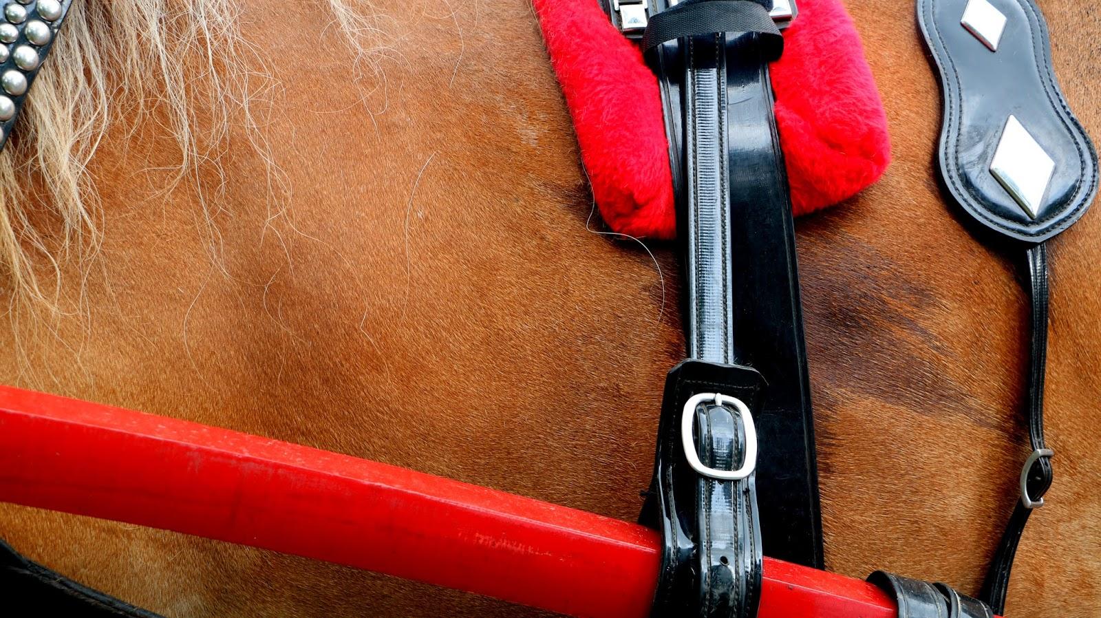 350 anniversaire cheval canadien