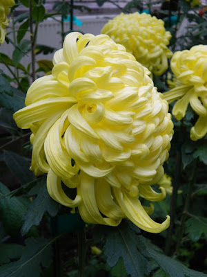 Pale yellow incurve mums at 2016 Allan Gardens Conservatory  Fall Chrysanthemum Show by garden muses-not another Toronto gardening blog