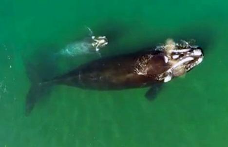 Avistajes de ballena - drone desde el aire