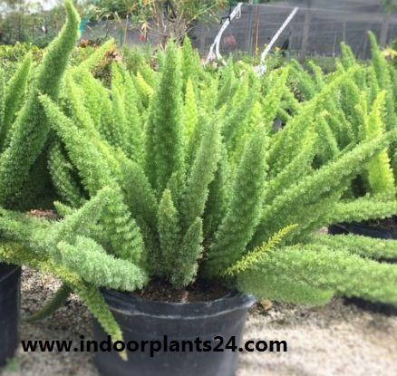 Asparagus densiflorus indoor house plant image