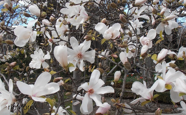 MAGNOLIO DE LOEBNER Magnolia x loebneri