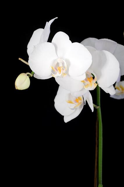 tablou-luminos-pe-panza-orhidee-alba-275.jpg