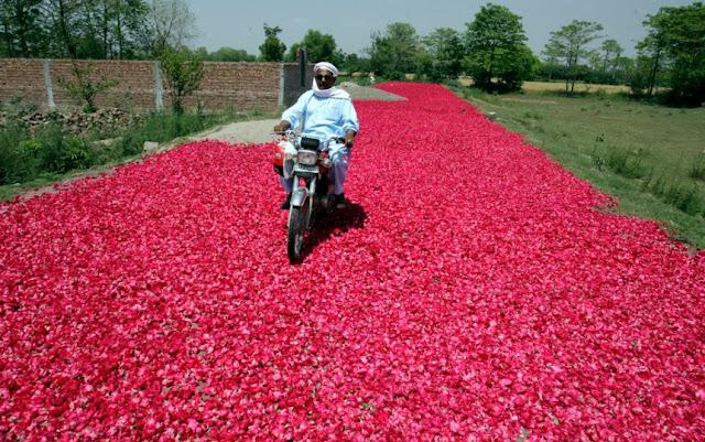 Rose, Rose Petals, Rosepetals, Gulab, Gulab ki pattiyan, Gulab ki patiyan, Gulab ki patiya, Lahore, Pakistan, Photos, Images, Flowers, Walk