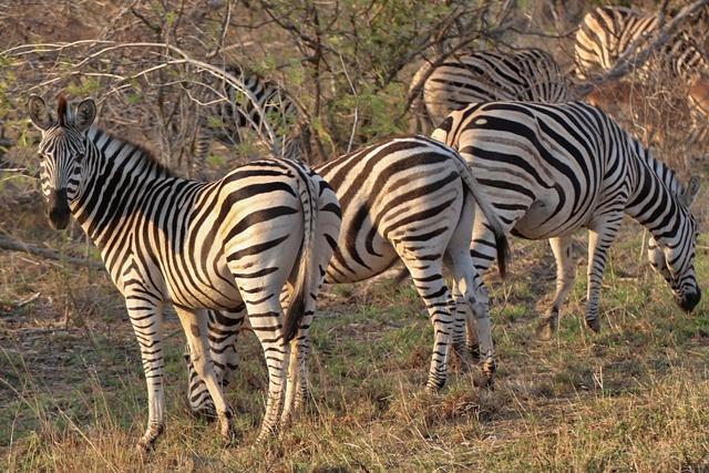 Cebras de Kruger