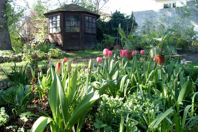 Darwin-Hybrid-Tulpen Pink Impression