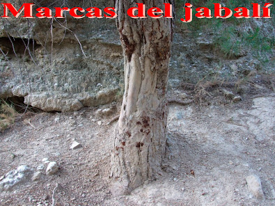 Marcas en árboles del jabalí
