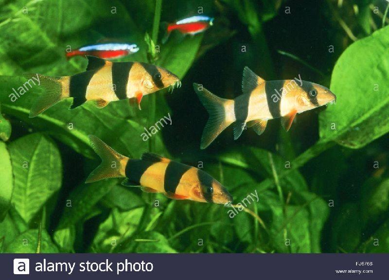 ikan botia india