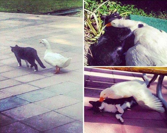 Afogar o ganso com uma gatinha