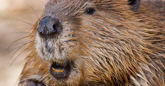 beaver animal images HD Free Download