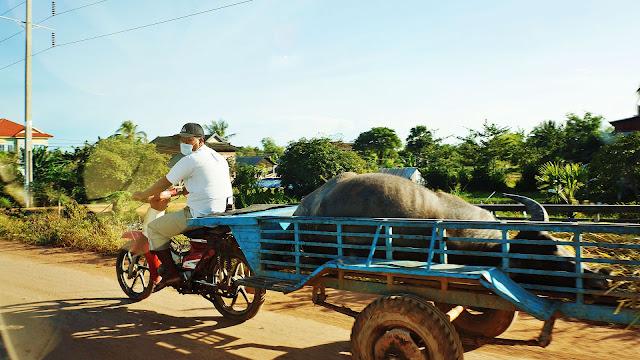 Изображение момента перевозки буйвола на мототележке
