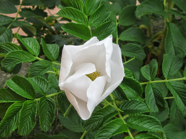 fiore della rosa rugosa