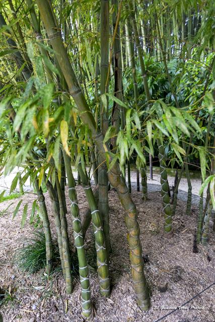 Phyllostachys heterocycla de la Bambouseraie en Cévennes, Francia por El Guisante Verde Project