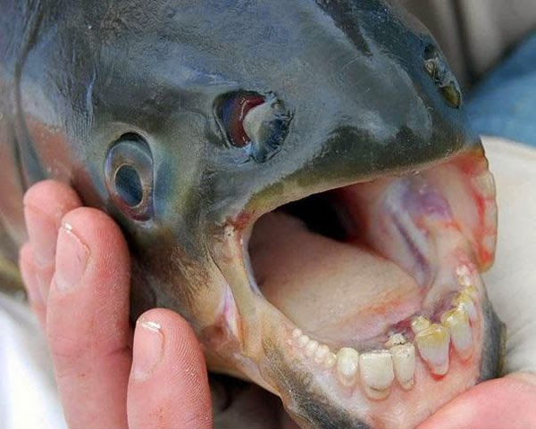 Animals You May Not Have Known Existed - The Pacu Fish