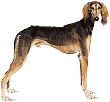 Anjing Ras Saluki