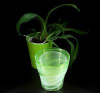 ocidium storczyk