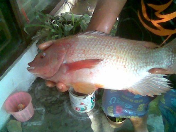 Berbisnis Ikan Gurame