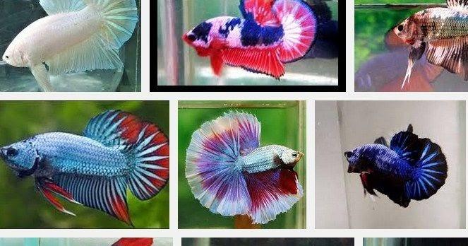 Ikan Cupang Plakat yang Cantik dan Murah