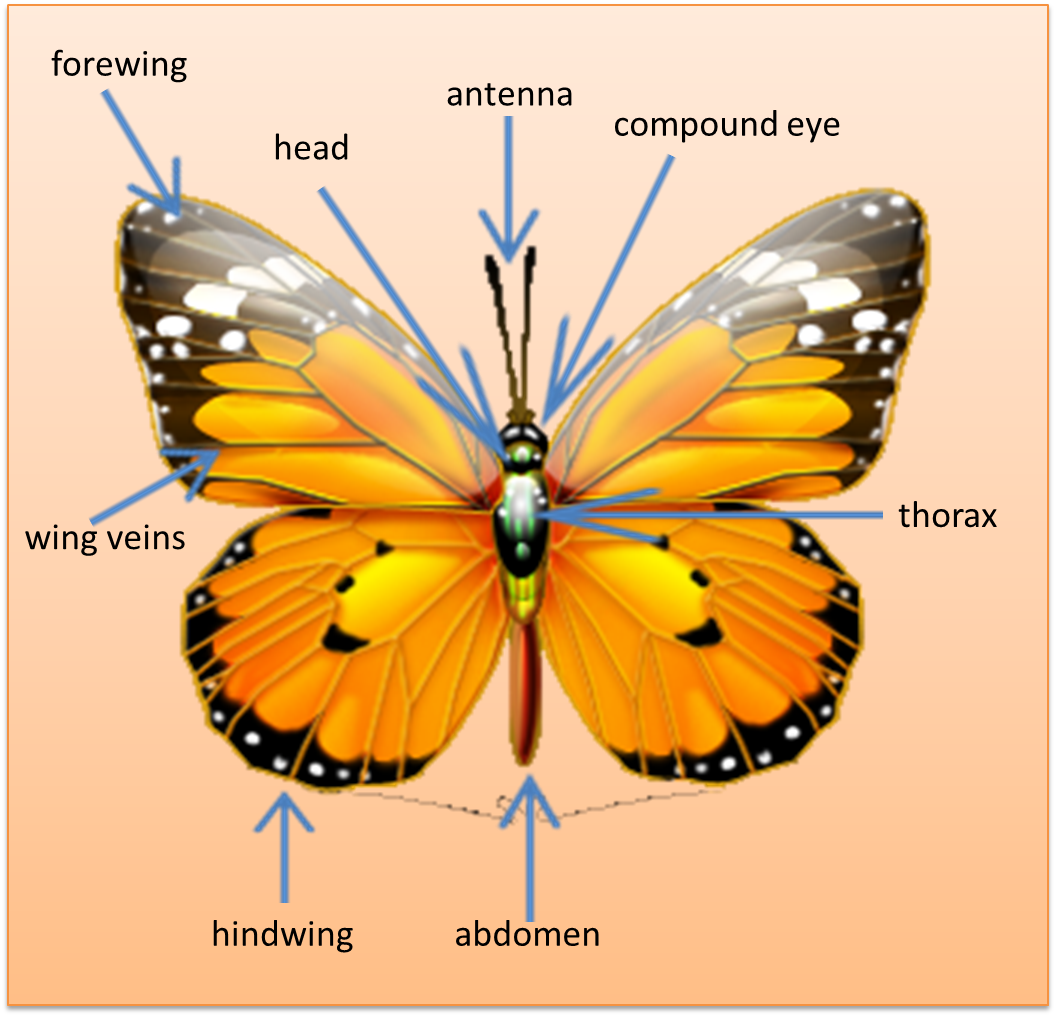 parts of a butterfly diagram toyota electronic distributor wiring labeled caterpillar pictures to pin on