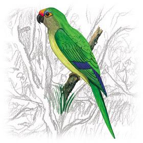 Periquito-Rei (Aratinga aurea)