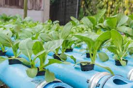 sawi hijau dengan metode penanaman hidroponik