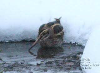 Jack Snipe, Birding in Newfoundland