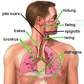 Alat Pernafasan Pada Manusia