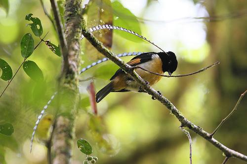 Burung Cendrawasih Panji