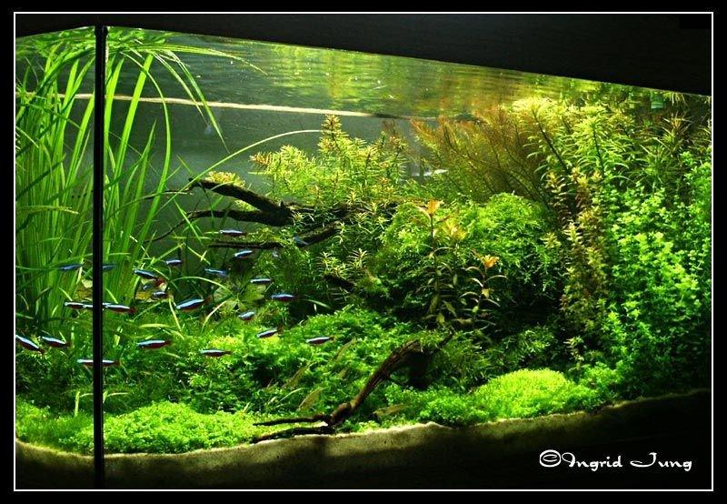 Flora Aquatica   Freshwater Aquarium Plants for Planted Tanks