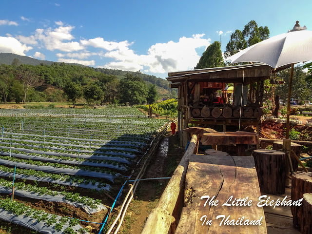Strawberries, Coffee and a river near Chiang Kham - North Thailand