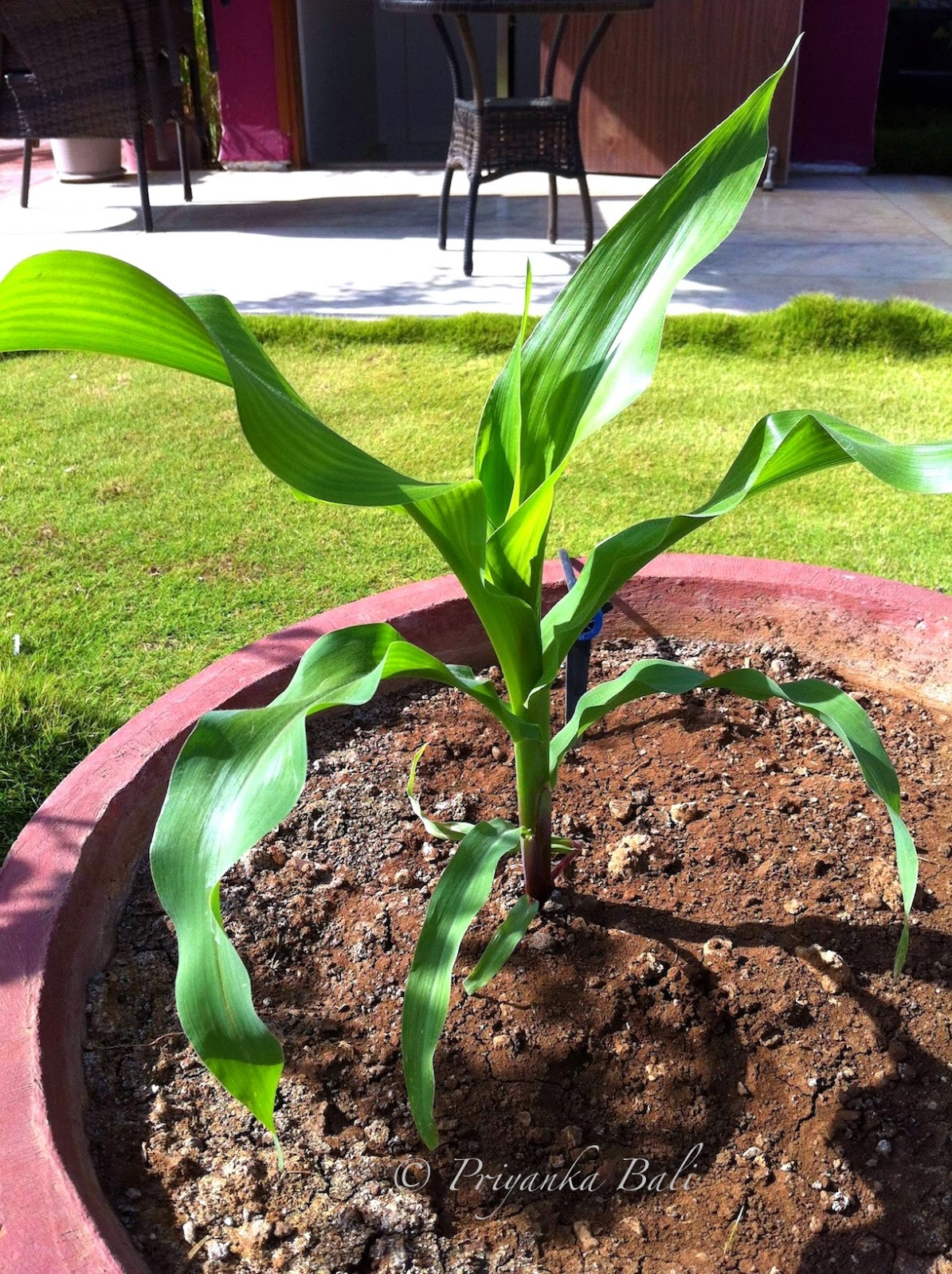 Growing Baby Corn Container