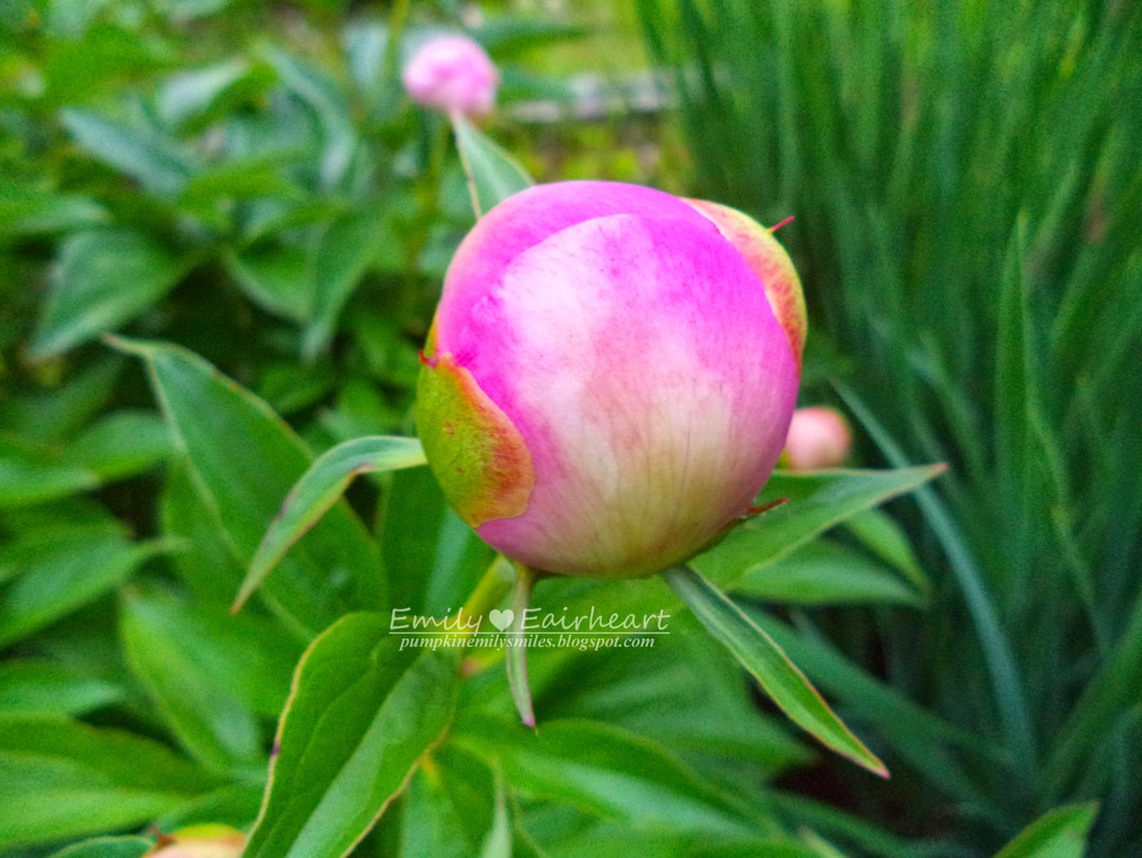An unopened light pink Peony