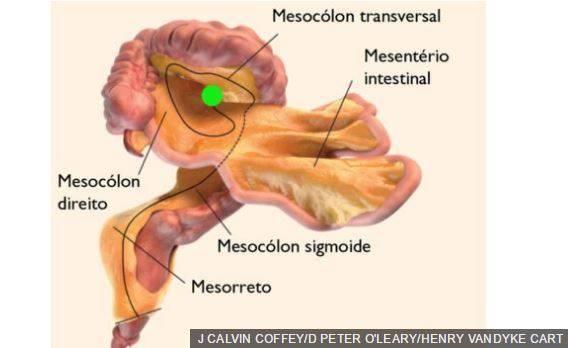 Mesentério órgão corpo humano