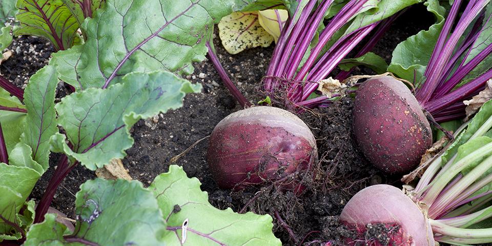 Cách trồng củ dền và kinh nghiệm trồng củ dền đỏ