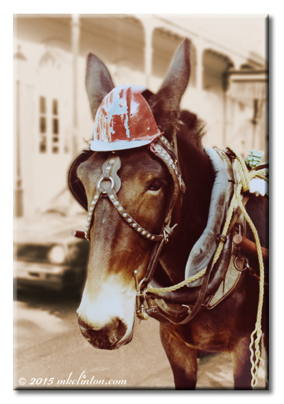 Mule wearing a faded hard hat in French Quarter