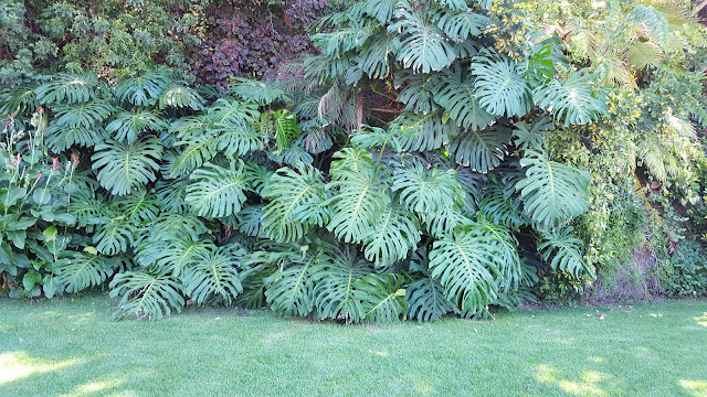 Large specimen of the Swiss Cheese plant - Monstera deliciosa