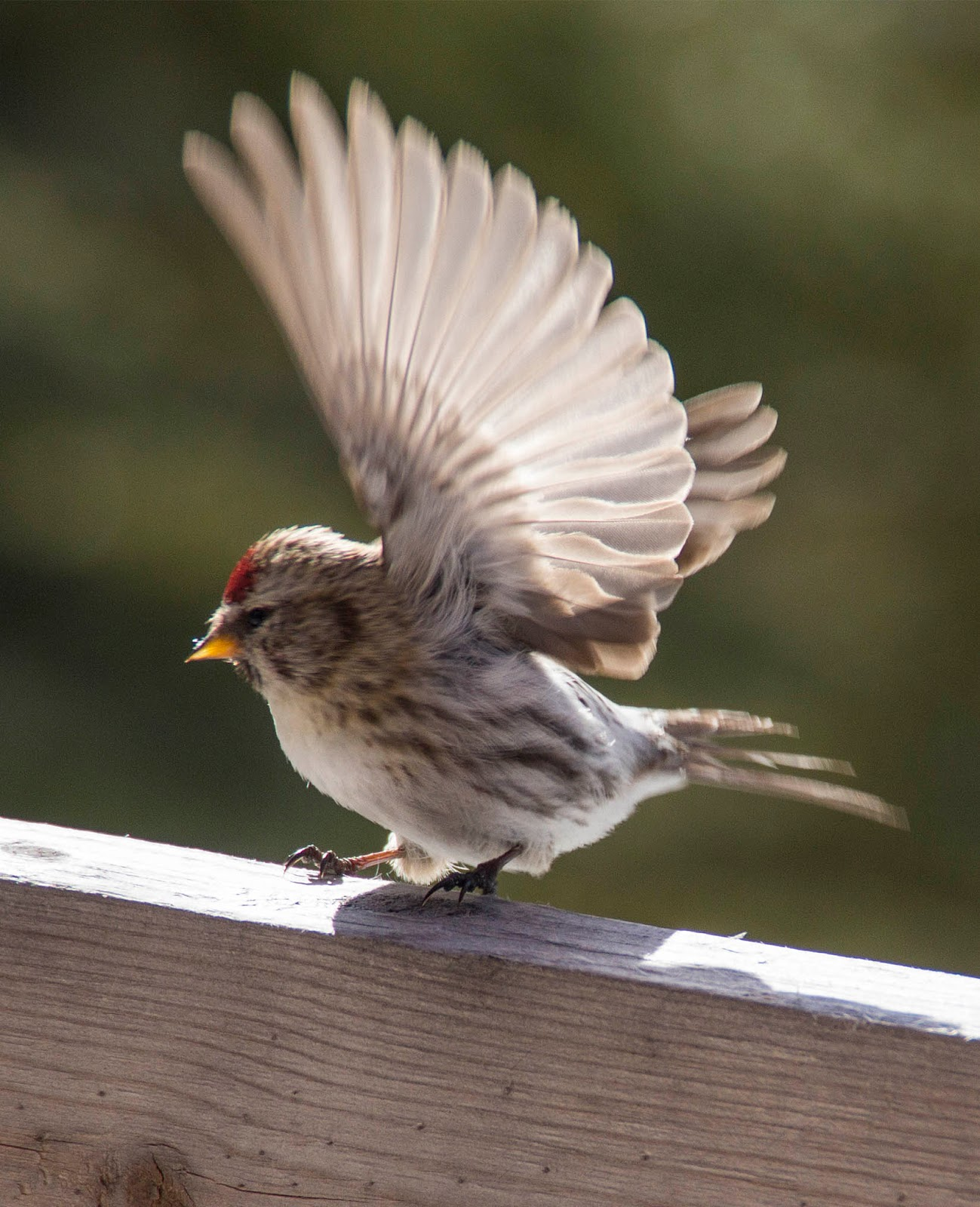 Another Winter Bird Is The Redpoll, Whose Breeding Range Is In The Arctic  Tundra They Drop Down To Canada And The Northern States In The Winter,