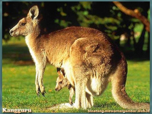 gambar binatang kangguru