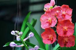 Manfaat Bunga Anggrek untuk Perasa Makanan dan Minuman