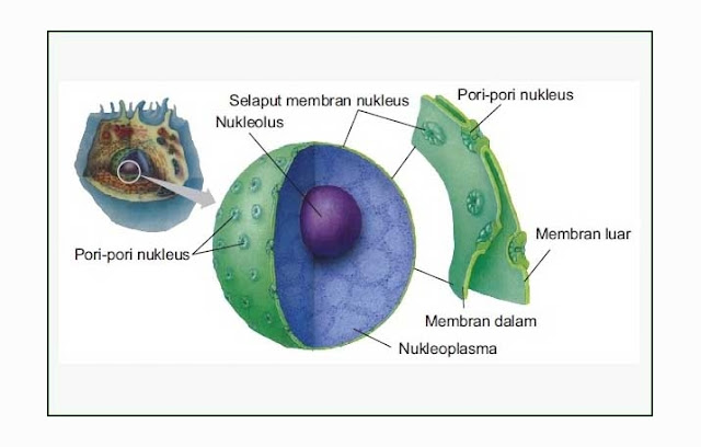 Pengertian, Struktur, Fungsi Inti Sel (Nukleus)