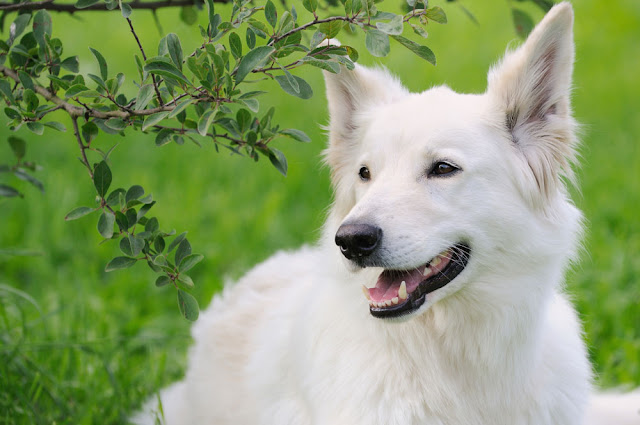 3 things all owners should do for their pet. Photo shows white GSD.