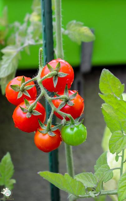 erntereife Tomaten Urban Gardening