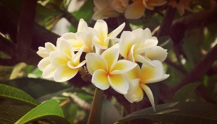 Planta-plumeria